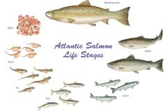 salmon.poster.w